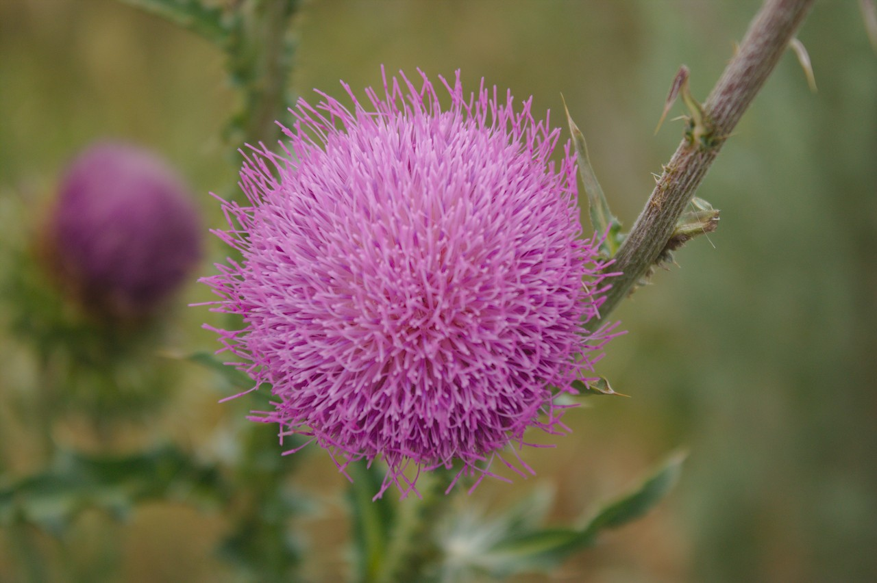 Thistle on a ridgeline
